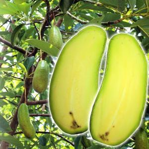 果樹苗 アボカド ホアンホセ 1株 Bタイプ / 苗木 苗 種なしアボカド アボガド|kokkaen