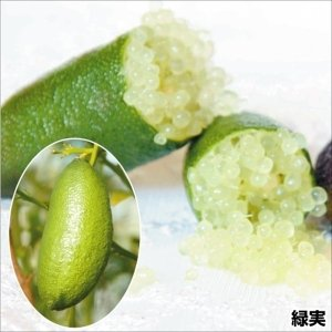 果樹苗 苗木 カンキツ フィンガーライム 緑実 1株 / 柑橘 かんきつ 苗 苗木|kokkaen