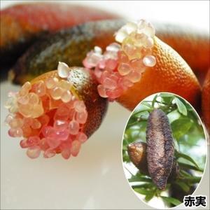 果樹苗 苗木 カンキツ フィンガーライム 赤実 1株 / 柑橘 かんきつ 苗 苗木|kokkaen