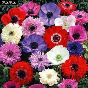 秋植え球根 アネモネ ミックス (無選別) 50ml (約20-50球) / 花の球根 国華園 アネモネ・コロナリア|kokkaen
