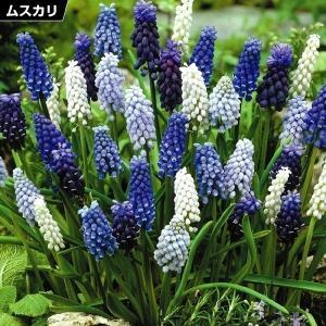 秋植え球根 ムスカリ4種ミックス (花色見計らい) 40球