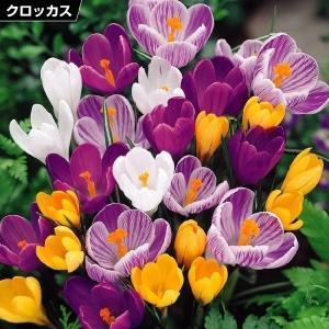 秋植え球根 大輪クロッカス 4色セット 4色40球(各10球) / 花の球根 きゅうこん 国華園