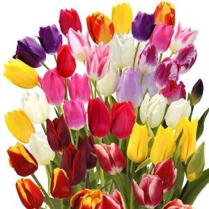 チューリップ 球根 5種ミックス (無選別) 30球 / チュウリップ 花の球根 国華園|kokkaen