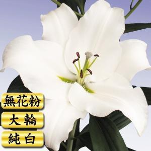 花ユリ 球根 オカヤマ (スムースペタル) 5球|kokkaen