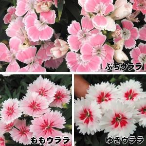 花苗 宿根ナデシコ ウララセット 3種3株 kokkaen