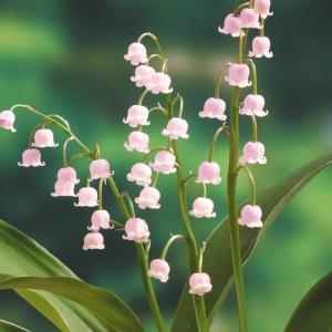 商品情報 清楚で可憐な花をつけるスズランの薄桃色花です。高温多湿を嫌うので涼しく管理。 分類 多年草...