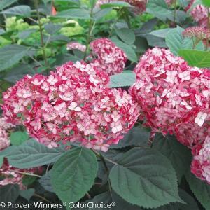 商品情報 ルビー色に輝く美麗花!濃淡のグラデーションも美しく花壇や鉢で映えます。樹高が1m以下とコン...