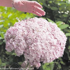 商品情報 花径が最大30cm以上にもなる巨大輪!茎が太く、倒れにくく切花に最適。 【旧名:インクレデ...