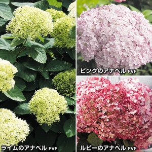 花木 アジサイ 苗 苗木 アナベルセット 3種3株|kokkaen
