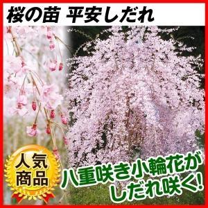 桜 苗木 平安しだれ 1株 / しだれ桜 枝垂桜 桜の木 さくら 苗 花木苗