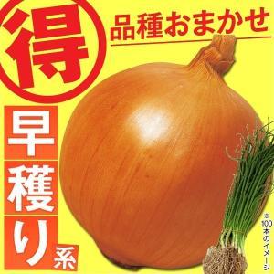 玉ねぎ苗 品種おまかせ 早穫り玉ねぎ 100本