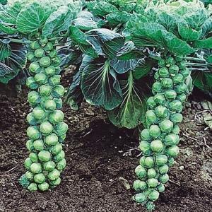 商品情報 軸にびっしり実り、栄養豊富な芽キャベツ。スープや煮物、和え物等に。 大きさ  約2.5cm...