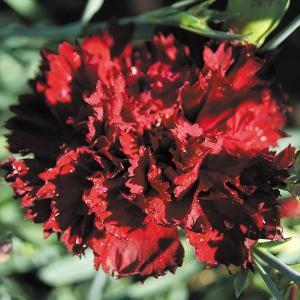 種 花たね ダイアンサス ネロスカーレット 1袋(200mg)/タネ たね|kokkaen