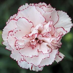 種 花たね ダイアンサス カーネーション ベニグナ 1袋(200mg)/タネ たね|kokkaen