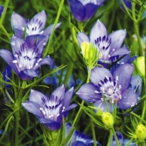 種 花たね ニゲラ ブルースター 1袋(100mg)/タネ たね|kokkaen
