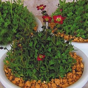 種 花たね クモマソウローズ 1袋(30粒)/タネ たね|kokkaen