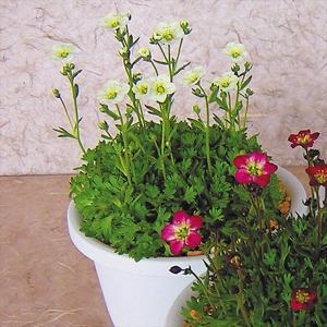 種 花たね クモマソウホワイト 1袋(30粒)/タネ たね|kokkaen