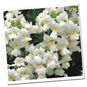 種 花たね 香りのネメシア ラベンダーホワイト 1袋(20粒)/タネ たね|kokkaen
