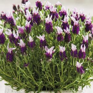 種 花たね フレンチラベンダー バンデラピンク 1袋(20粒)/タネ たね|kokkaen