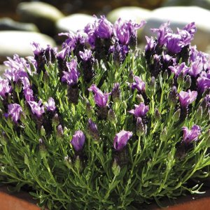 種 花たね フレンチラベンダー バンデラパープル 1袋(20粒)/タネ たね|kokkaen