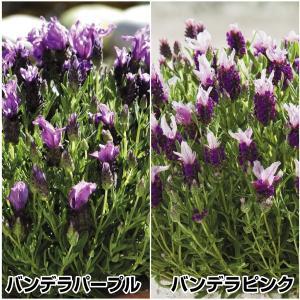 種 花たね フレンチラベンダー バンデラセット 2種2袋(各1袋)/タネ たね|kokkaen