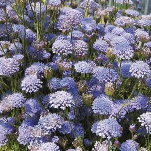 種 花たね レースフラワー セトノブルー 1袋(50粒)/タネ たね|kokkaen