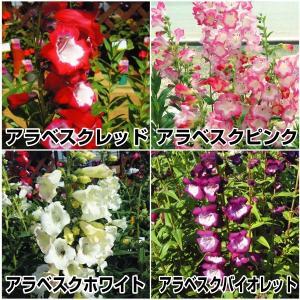 種 花たね ペンステモンセット 4種4袋(各1袋)/タネ たね|kokkaen