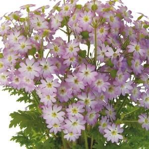 種 花たね 雲南さくら草 チュチュオーロラ 1袋(20粒)/タネ たね|kokkaen