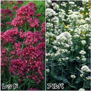 種 花たね セントランサスセット 2種2袋(各1袋)/タネ たね|kokkaen
