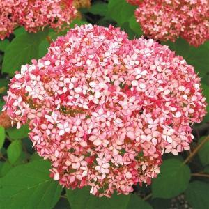 商品情報 従来種より濃く鮮やかなピンクの大輪花。先終わりにグリーン色へと変化! お届け状態 挿木1〜...