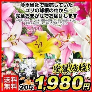 送料無料 球根 ユリ ラストチャンスミックス(無選別) 20球 / 国華園