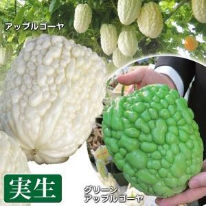 実生野菜苗 ゴーヤ 実生アップルゴーヤセット 2種2株(各1株) / ごーや 苦瓜|kokkaen