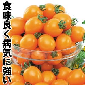 野菜たね トマト F1タンゴイエロー 1袋(8粒) / タネ 種