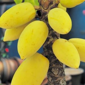 果樹苗 パパイヤ ゴールデンパパイヤ 2株 / 果樹 フルーツ 果物 苗 苗木