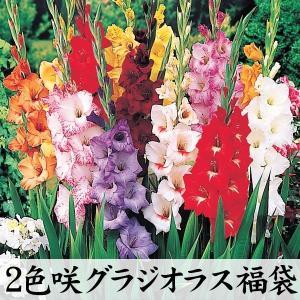 学名・英名 Gladiolus 商品情報 夏の花壇に欠かせない春植え球根!! お届け状態 球根 (開...