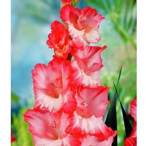 学名・英名 Gladiolus Pink Lady 商品情報 夏の花壇に欠かせない春植え球根!! お...