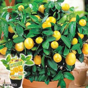 鉢植え向き果樹苗 レモン レモン21  2株 / 国華園|kokkaen