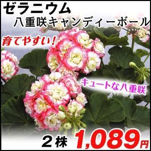 花苗 ゼラニューム 八重咲キャンディーボール 2株 ゼラニウム|kokkaen