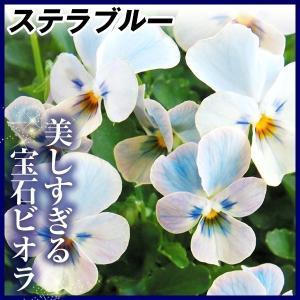 花苗 宝石ビオラ チュニチュニシリーズ ステラブルー 2株 / はななえ 花の苗 国華園