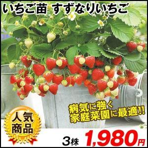 いちご苗 すずなりいちご 3株 / 国華園|kokkaen