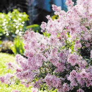 花木 ライラック ジョシー 1株|kokkaen