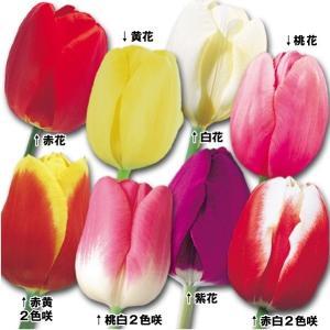 チューリップ 球根 定番8色セット 8色80球 (各10球) 送料無料 / きゅうこん 花の球根 チュウリップ ちゅうりっぷ