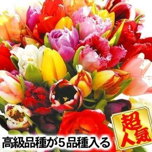チューリップ 球根 チューリップ5種ミックス 90球 送料無料 / きゅうこん 花の球根 チュウリップ ちゅうりっぷ 国華園|kokkaen