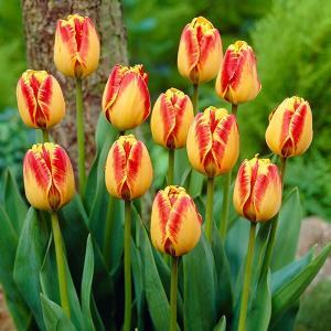 チューリップ 球根 バニャルカ 20球 / きゅうこん 花の球根 チュウリップ ちゅうりっぷ 国華園|kokkaen