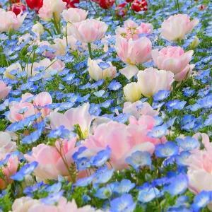 球根 チューリップ&花たね 送料無料 アンジェリケ&ネモフィラセット 2種1組 / きゅうこん 花の球根 チュウリップ ちゅうりっぷ 国華園