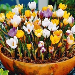 秋植え球根 寒咲クロッカス 5種ミックス(花色見計らい) 30球 / 花の球根 きゅうこん ハナサフラン 国華園