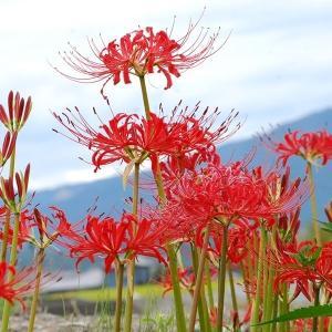 彼岸花 球根 リコリス ラジアータ  10球 夏植え球根 ヒガンバナの花 曼珠沙華の画像