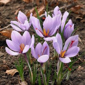 夏植え球根 サフラン 10球 / きゅうこん Crocus sativus クロッカス 香辛料 スパイス