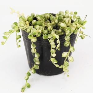商品情報 粒々の葉が可愛く、垂れ下がるように生長します。 分類 多肉植物 お届け状態  ポット苗 日...