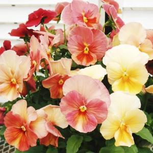 商品情報 アプリコット、ローズのグラデーションが美しい中輪パンジー。連続開花性があるので次々と花を咲...
